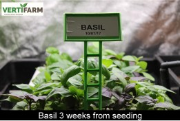 web_Basil_3_weeks