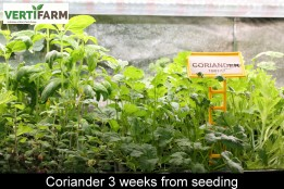 web_Coriander_3_weeks