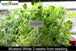 web_Mustard_White_3_weeks